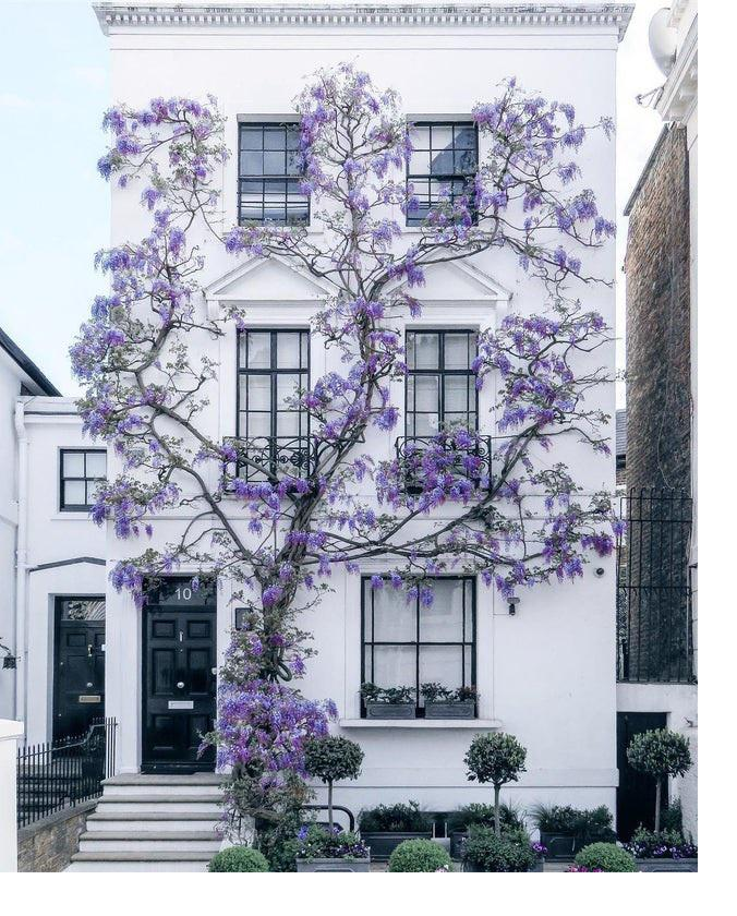 Wisteria Climbing Up A Home In South Kensington, London