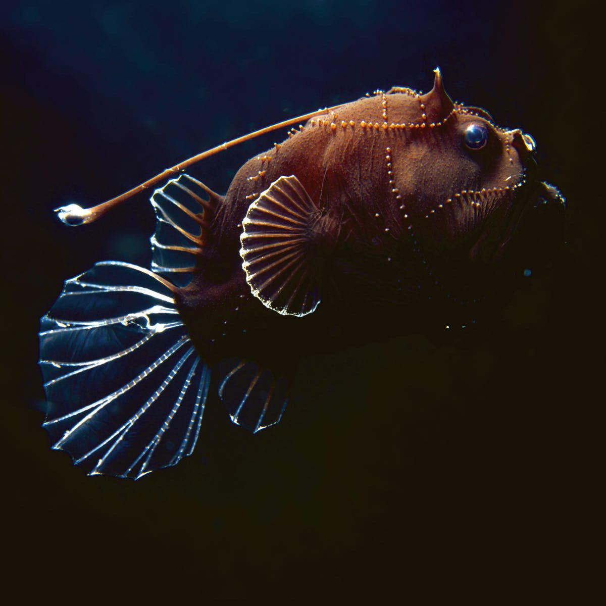 Anglerfish in the light of a submarine