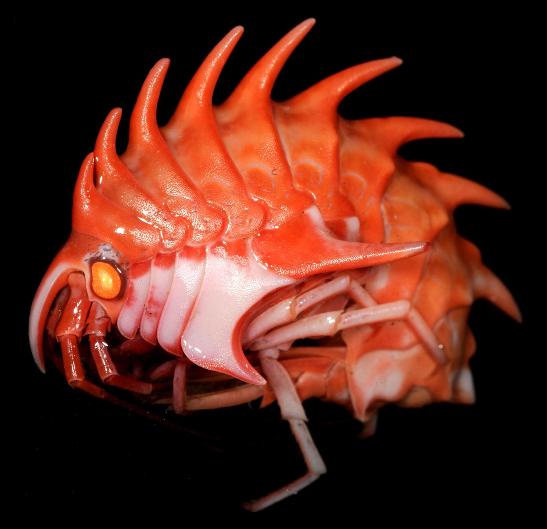 The Antarctic Amphipod is one of the most alien creatures to inhabit the depths below